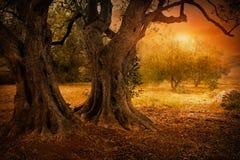 Oude olijfboom royalty-vrije stock foto's