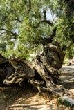 Oude olijfboom Royalty-vrije Stock Afbeeldingen