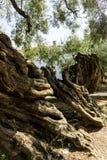 Oude olijfboom Royalty-vrije Stock Fotografie