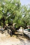 Oude olijfboom Stock Afbeelding