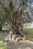 Oude olijfboom Stock Foto's