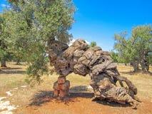 Oude olijfboom, boomstam stock foto
