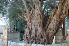 Oude olijfboom in een cypriotisch dorp stock foto