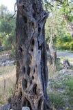 Oude olijfboom in het park royalty-vrije stock afbeelding