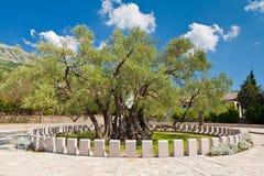 Oude olijfboom. Meer dan 2000 jaar oud. Stock Afbeelding