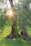 Oude olijfboom met zonnestraal door bladeren stock afbeeldingen