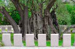 Oude olijfboom in Mirovica, Bar, Montenegro Royalty-vrije Stock Fotografie