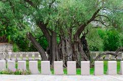 Oude olijfboom in Mirovice-district, stad van Bar, Montenegro Stock Foto