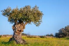 Oude olijfboom op blauwe hemel en Bloemrijk Landschap in Alentejo stock afbeelding