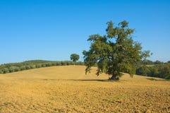 Oude olijfboom op een gebied stock fotografie