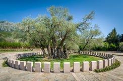 Oude olijfboom Stara Maslina die meer dan 2000 jaar oud in Montenegro is Stock Foto