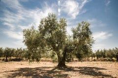 Oude olijfboom van mediterrane klimaten in zuiden van Spanje royalty-vrije stock foto's