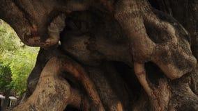 Oude Olive Tree in het centrum van Palma de Mallorca, Spanje stock videobeelden