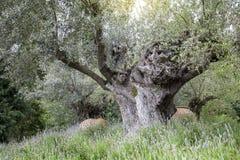 Oude Olive Tree met Installaties Royalty-vrije Stock Foto's