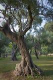 Oude Olive Trees Royalty-vrije Stock Afbeeldingen