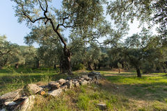 Oude Olive Trees Royalty-vrije Stock Afbeelding