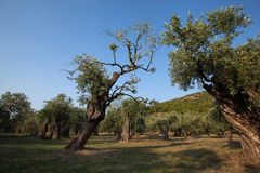 Oude Olive Trees Stock Foto