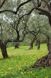 Oude Olive Trees In Meadow Royalty-vrije Stock Foto