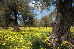 Oude Olive Trees In Meadow Royalty-vrije Stock Foto's