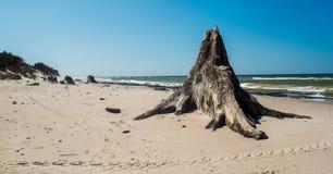 Oude, oneven eik op een kust Stock Foto