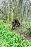 Oude ongebruikelijke boomboomstam in bos bij de vroege lente, magische atmosfeer Royalty-vrije Stock Afbeelding