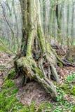 Oude ongebruikelijke boomboomstam in bos bij de vroege lente, magische atmosfeer Stock Afbeeldingen