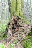 Oude ongebruikelijke boomboomstam in bos bij de vroege lente, magische atmosfeer Royalty-vrije Stock Foto