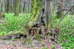 Oude ongebruikelijke boomboomstam in bos bij de vroege lente, magische atmosfeer Royalty-vrije Stock Fotografie