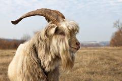 Oude ongekamde geit met grote hoornen Royalty-vrije Stock Afbeeldingen