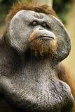 Oude Orang-oetan Utan Royalty-vrije Stock Foto