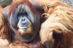 Oude Orang-oetan Utan Royalty-vrije Stock Afbeeldingen