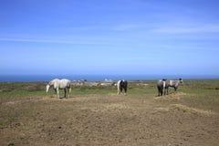 Oude Paarden die Cornwall Engeland weiden Stock Fotografie