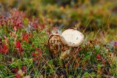 Oude paddestoel in een het noorden bosaard in saamitoendra royalty-vrije stock fotografie