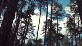Oude Pijnbomen in Bos stock video