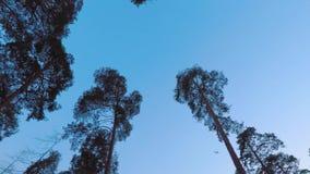 Oude pijnbomenpinery slingering in de wind tegen de avondhemel Boomboomstammen die, sissende takken in de takken slingeren scheme stock videobeelden