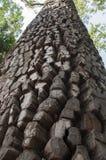 Oude pijnboom Stock Afbeelding