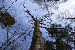 Oude pijnboom Stock Afbeeldingen