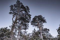 Oude pijnboombomen die in Brits bos groeien stock afbeelding