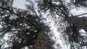 Oude pijnboombomen die in Nieuw Zeeland groeien stock fotografie