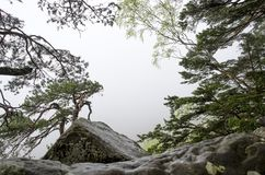 Oude pijnboombomen en rotsen met grijze mist op achtergrond Stock Foto's
