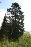 Oude pintree Stock Afbeeldingen