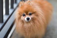 Oude Pomeranian-Hond Stock Foto's