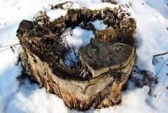 Oude populierboom gezaagde stomp met barsten van centrum omvat met witte sneeuw stock afbeeldingen
