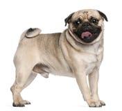 Oude Pug, 2 en een half jaren, status Royalty-vrije Stock Afbeeldingen