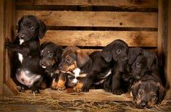 Oude puppy van de tekkel 3 de weken Royalty-vrije Stock Foto's