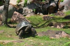 Oude reuzeschildpad in de tuin Royalty-vrije Stock Afbeelding