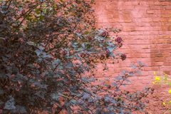 Oude rode bakstenen muur, rode struik, natuurlijke achtergrond Royalty-vrije Stock Afbeeldingen