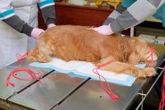 Oude rode spanielhond met verbindende mond door anesthesie op de werkende lijst royalty-vrije stock afbeelding