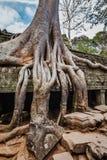 Oude ruïnes en boomwortels, de tempel van Ta Prohm, Angkor, Kambodja Stock Foto's