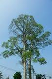Oude rubberbomen Royalty-vrije Stock Fotografie